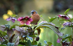 Picture flowers, nature, bird, hellebore, Chaffinch
