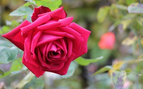 Picture flowers, red, rose, Bush, Nature, garden, buds