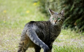 Picture cat, cat, look, nature, grey, glade, tail, walk, striped, the bushes, green eyes