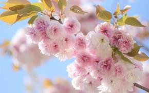 Picture leaves, macro, cherry, branch, spring, Sakura, flowering, flowers, Sakura