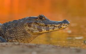 Picture shore, crocodile, orange background