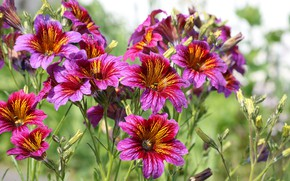 Picture summer, flowers, beautiful, bloom, Salpiglossis