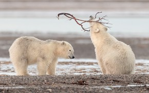 Picture shore, the game, branch, bears, pair, bears, polar bear, two, polar bears, two of the …