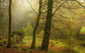 Picture greens, autumn, forest, leaves, trees, branches, nature, fog, thickets, trunks, glade, foliage, yellow, ivy, Liana, ...