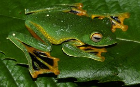 Picture macro, pose, leaf, frog, legs, camouflage, green, mimicry
