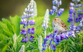Picture flowers, bird, lupins