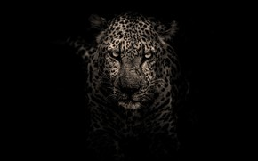 Picture look, face, portrait, treatment, leopard, black background, monochrome, harsh