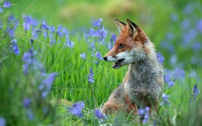 Picture face, flowers, glade, spring, Fox, profile, bells, Fox