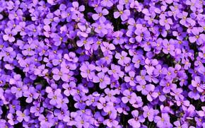 Picture flowers, petals, obrieta