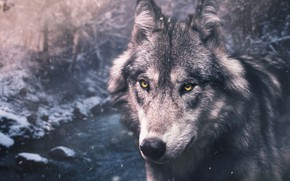 Wallpaper winter, forest, eyes, look, face, snow, nature, grey, wolf, portrait, handsome