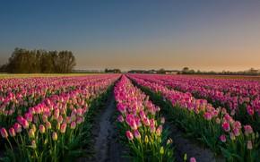 Picture Flower, Tulip, Field