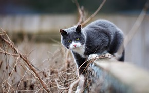 Wallpaper cat, cat, look, face, pose, grey, background, the fence, walk, smoky, vine