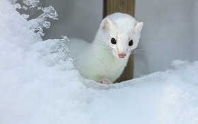 Picture look, Nast, weasel, snow, winter, the snow, white, muzzle, animal