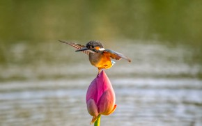 Picture flower, water, nature, bird, wings, Bud, Lotus, Kingfisher