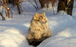 Picture winter, cat, cat, look, light, snow, branches, nature, pose, muzzle, the snow, shadows, grey, sitting, …