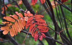 Picture autumn, Rowan, the leaves of the trees