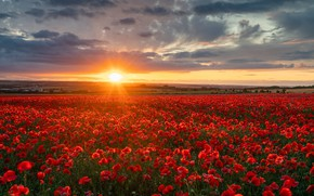 Picture field, sunset, flowers, England, Maki, England, Wiltshire, Wiltshire