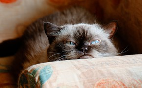 Picture cat, cat, face, the dark background, sofa, portrait, evil, pillow, blue eyes, unhappy, the expression, …