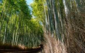 Picture Japan, People, Forest, Trail, Bamboo, Kyoto