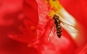 Picture flower, macro, red, fly, background, blur, stamens, insect, striped, fly, gorzalka