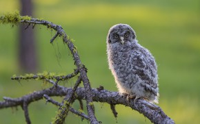 Picture branches, background, tree, owl, bird, glade, moss, cub, chick, green background, owlet, branches, owlet, owl