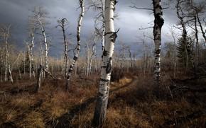 Wallpaper autumn, forest, birch