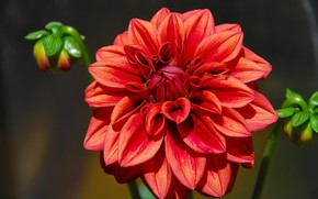 Picture flower, background, Dahlia