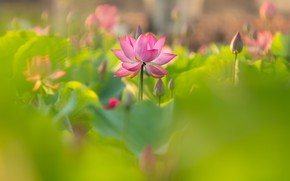 Picture flower, pink, Lotus