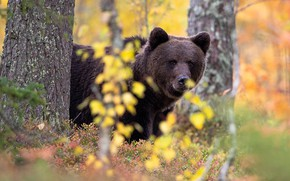 Picture autumn, forest, face, branches, foliage, bear