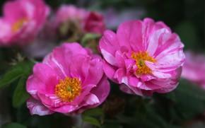 Picture macro, bright, roses