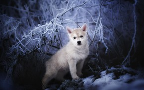 Picture winter, nature, Nordic Wolfdogs