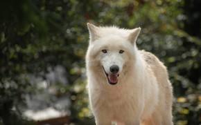 Picture forest, language, white, look, face, light, wolf, portrait, bokeh, polar