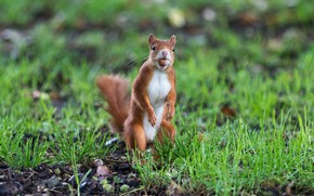 Picture nature, pose, walnut, protein, stand, rodent