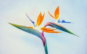 Picture macro, plant, the strelitzia, Bird of paradise flower