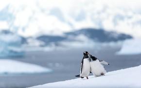 Picture winter, snow, mountains, birds, pose, shore, ice, penguins, slope, glacier, pair, penguin, a couple, two, …