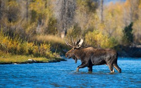 Picture autumn, forest, trees, shore, foliage, horns, walk, pond, moose