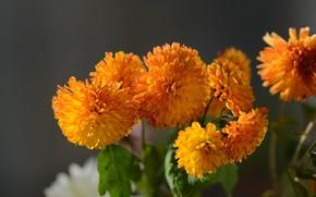 Picture autumn, mood, autumn flowers, hrizantemi