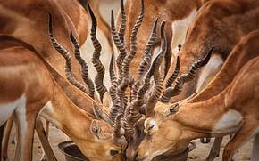Picture desert, bowl, antelope