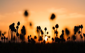 Picture The SUN, FIELD, MACRO, SUNSET, BUDS, SILHOUETTES, MAKI