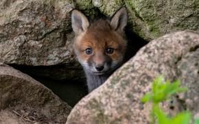 Picture nature, stones, animal, muzzle, cub, Fox