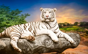 Picture trees, landscape, nature, tiger, background, stone, predator, lies, white tiger, resting, handsome, bokeh