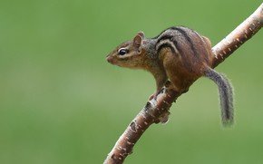 Picture pose, branch, Chipmunk, green background