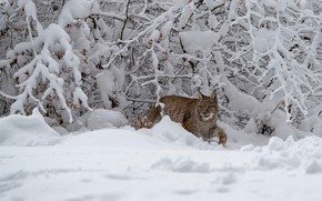 Picture winter, forest, language, snow, branches, pose, the snow, lynx, sneaks
