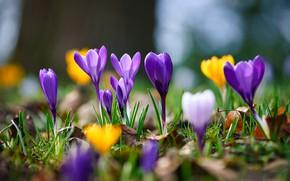 Picture macro, spring, bokeh, Crocuses, Saffron