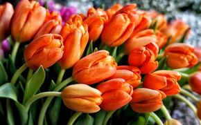 Picture bright, bouquet, tulips, orange
