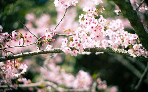 Picture light, flowers, branches, cherry, background, blur, spring, Sakura, flowering, bokeh