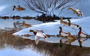 Picture winter, snow, flight, birds, branches, nature, river, shore, figure, duck, pack, picture, art, the snow, …
