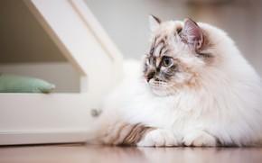 Picture cat, white, cat, look, face, background, portrait, light, lies, marks, color-point, ragdoll
