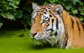 Picture face, tiger, bathing, pond
