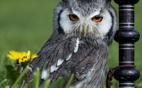 Picture grass, flowers, owl, bird, post, dandelions, White-faced scoop